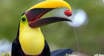 pair-of-rare-toucan-bird-found-on-bangladesh-border | The ...