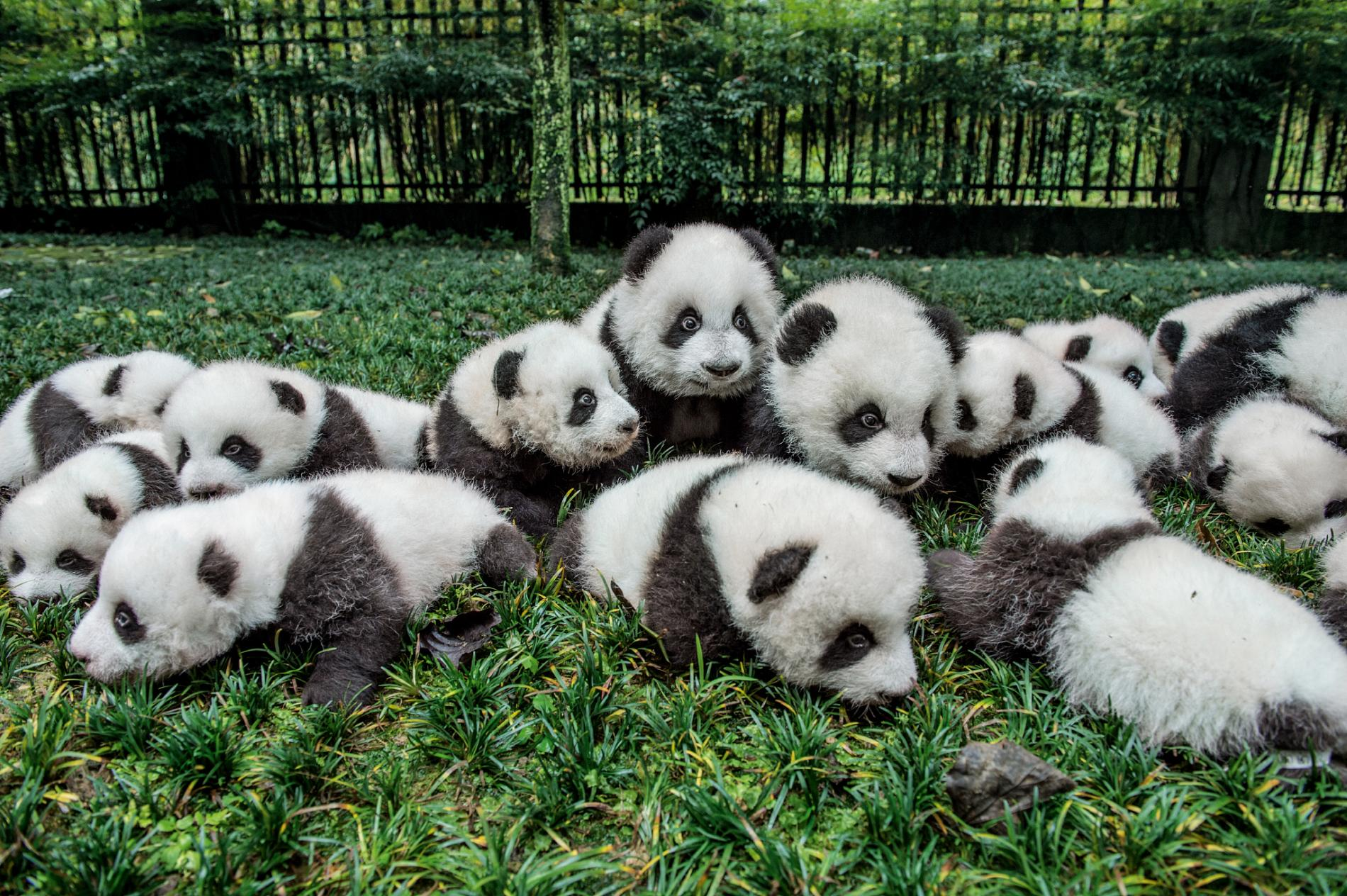 Uncovering panda's backstory on 150th anniversary of scientific discovery