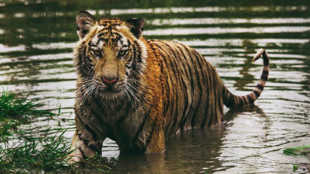 Tiger killed a fisherman and taken away another into deep forest in Sundarbans