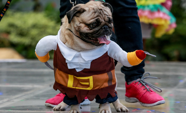 """QUEZON CITY, Oct. 28, 2019 (Xinhua) -- A dog dressed in Halloween costume is seen during the """"Petrified"""" Halloween celebration in Quezon City, the Philippines, Oct. 27, 2019. Xinhua/Rouelle Umali/UNI PHOTO-3F"""