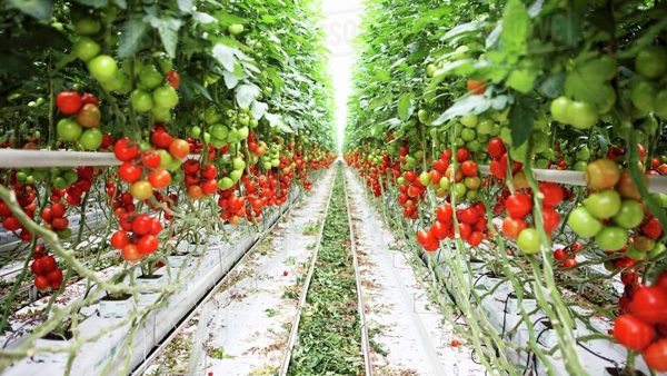 New tomato species to yield up to 1,400 quintals/hectare | The Samikhsya