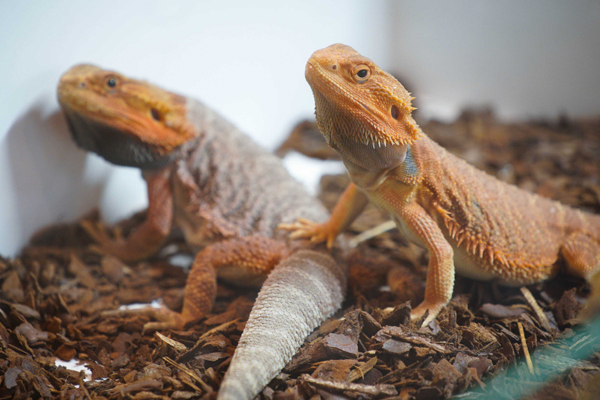 WARSAW, Nov. 18 (Xinhua) -- Desert lizards are seen on display at the Exotic Animals Fair in Warsaw, Poland, on Nov. 17, 2019. Visitors at the fair are given the chance to see and sometimes touch exotic anmials such as arthropods, amphibians, insects and reptiles. Xinhua/UNI PHOTO-7F