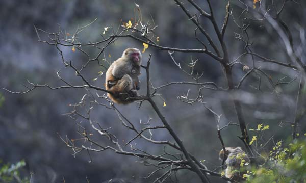 WUSHAN, Dec. 27, 2019 (Xinhua) -- Photo taken on Dec. 27, 2019 shows a wild macaque at the Small Three Gorges scenic area in Wushan County, southwest China's Chongqing Municipality. The ecological environment of the scenic area keeps improving in recent years, and more and more macaques have been attracted here. (Xinhua/Wang Quanchao/IANS)