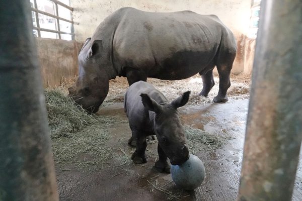 SINGAPORE, Dec. 27, 2019 (Xinhua) -- A newly born southern white rhinoceros is seen in a pen in the Singapore Zoo on Dec. 27, 2019. The Singapore Zoo welcomed its 24th southern white rhinoceros baby which was borned on Dec 19, 2019. (Xinhua/Then Chih Wey/IANS)