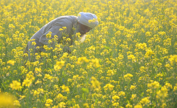 Amritsar: A farmer busy working at a mustard field on the outskirts of Amritsar, on Dec 7, 2019. (Photo: IANS)