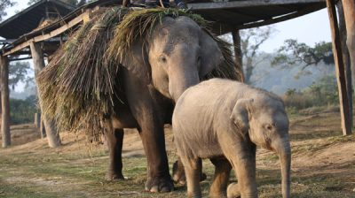 CHITWAN, Dec. 29, 2019 (Xinhua) -- A baby elephant returns with its mother after collecting grasses from jungle at an elephant breeding center in Sauraha, a tourism hub in southwest Nepal's Chitwan district, Dec. 29, 2019. The elephant breeding center at Chitwan National Park was set up to protect the endangered elephants in the region. (Photo by Sunil Sharma/Xinhua/IANS)