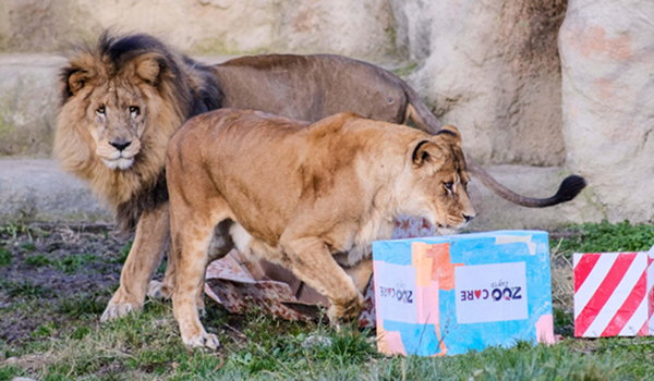 ZAGREB, Dec. 26, 2019 (Xinhua) -- African lions look into Christmas gift packages at Zagreb Zoo in Zagreb, capital of Croatia, on Dec. 26, 2019. (Tomislav Miletic/Pixsell via Xinhua/IANS)