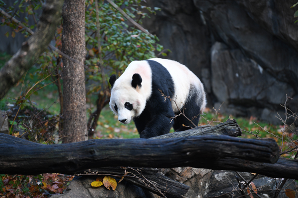 (191119) -- WASHINGTON, Nov. 19, 2019 (Xinhua) -- U.S.-born male giant panda Bei Bei is seen before his departure at the Smithsonian's National Zoo in Washington D.C., the United States, on Nov. 19, 2019. The 4-year-old giant panda Bei Bei, who was born and raised at the Smithsonian's National Zoo, departed for China on Tuesday. (Xinhua/Liu Jie)