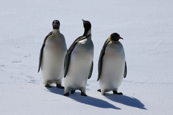 (191208) -- ABOARD XUELONG 2, Dec. 8, 2019 (Xinhua) -- Emperor penguins walk near China's polar icebreaker Xuelong 2 in the Antarctica's Prydz Bay, Dec. 6, 2019. Team members of China's 36th Antarctic expedition conducted multidisciplinary observations and researches in Antarctica's Prydz Bay from Dec. 3, to Dec. 7. (Xinhua/Liu Shiping)