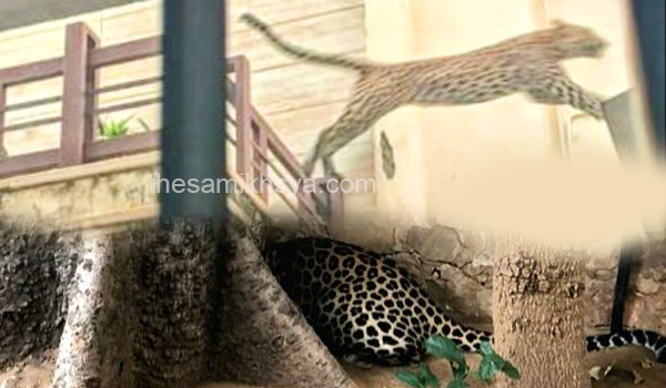 Panther finally caught in Jaipur after 21-hour search
