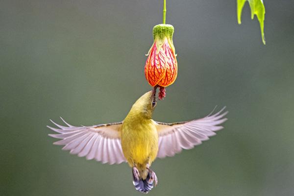 FUZHOU, Jan. 6, 2020 (Xinhua) -- A fork-tailed sunbird eats the nectar of a flower at the West Lake Park in Fuzhou, capital of southeast China's Fujian Province, Jan. 3, 2020. (Xinhua/Mei Yongcun/IANS)