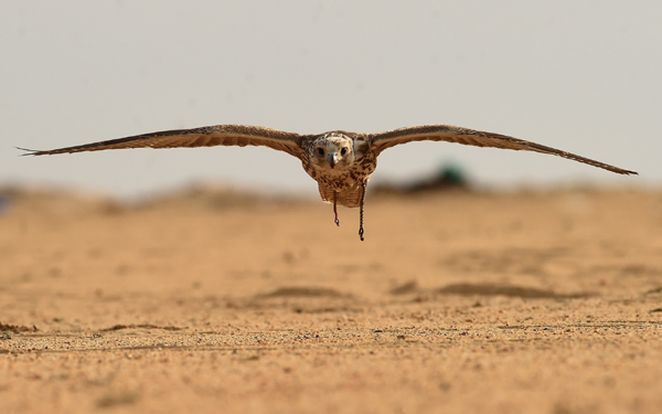 JAHRA GOVERNORATE, Jan. 5, 2020 (Xinhua) -- A falcon flies during a hunting show in Jahra Governorate, Kuwait, Jan. 4, 2020. Kuwaiti falcon lovers held on Saturday a falcon hunting show in the desert of Jahra Governorate of Kuwait. (Xinhua/IANS)