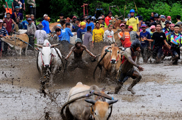 WEST SUMATERA, Jan. 18, 2020 (Xinhua) -- A jockey spurs cows during the traditional Pacu Jawi cow race in a village in Tanah Datar of West Sumatera, Indonesia, Jan. 18, 2020. The Pacu Jawi (traditional cow race) is held annually in muddy rice fields to celebrate the end of the harvest season. (Photo by Ardhy Fernando/Xinhua/IANS)