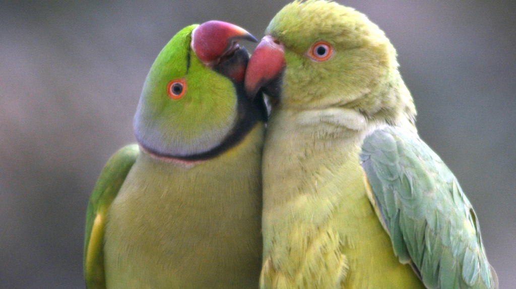 Kolkata: Indian ringneck parrots, mexican red headed amazon parrots, sulfur crested cockatoos playing eve of Valentine's day in Kolkata on Feb 13, 2020. (Kuntal Chakrabarty)