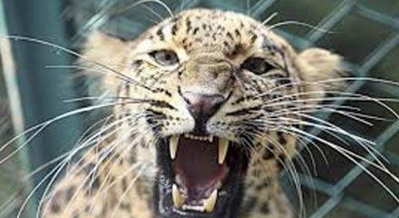 Leopard in well, rescue op underway in UP