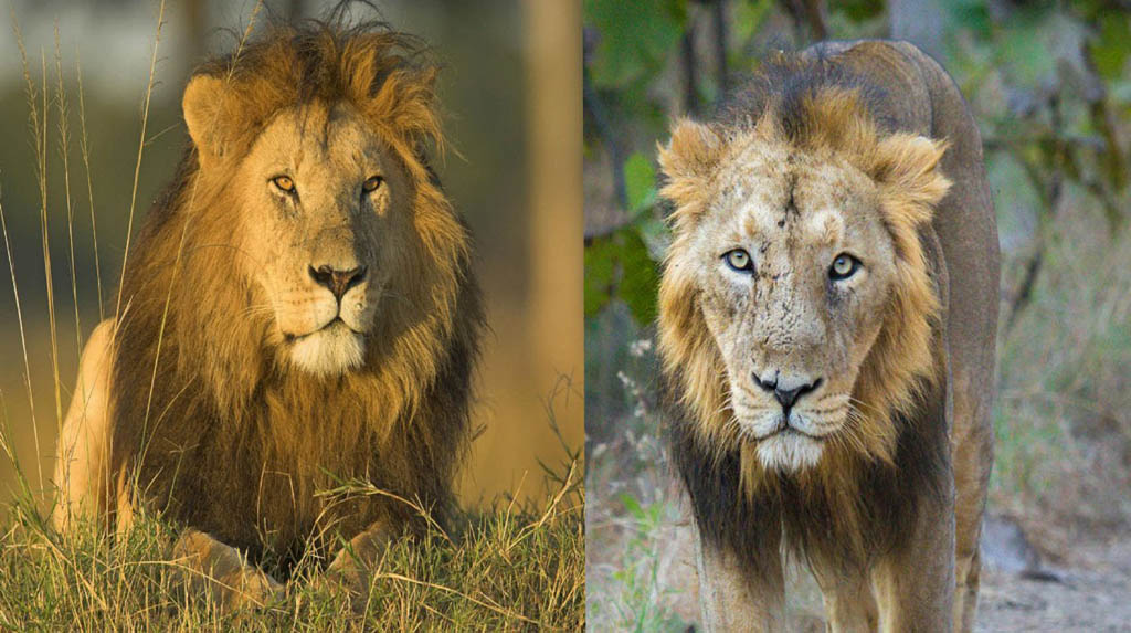 Better monitoring may help save lions in India