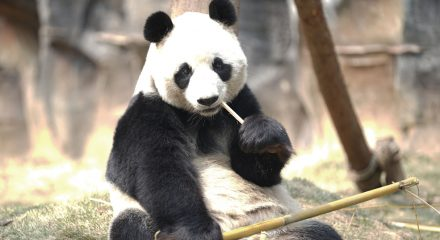 (200313) -- WUHAN, March 13, 2020 (Xinhua) -- A panda rests at Wuhan Zoo in Wuhan, central China's Hubei Province, March 13, 2020. Wuhan Zoo was closed on Jan. 22 after the novel coronavirus outbreak. Dozens of employees in the zoo have been sticking to their posts with feeding and disinfection work for nearly a thousand animals here. (Str/Xinhua)