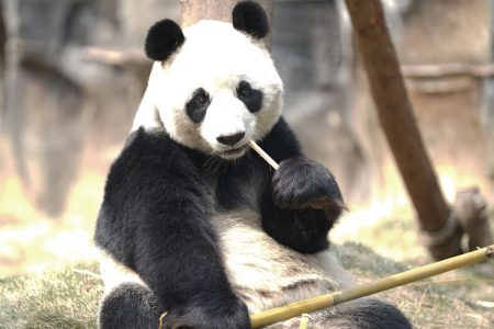 A panda rests at Wuhan Zoo in Wuhan