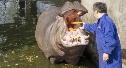 (200313) -- WUHAN, March 13, 2020 (Xinhua) -- A breeder feeds a hippo at Wuhan Zoo in Wuhan, central China's Hubei Province, March 13, 2020. Wuhan Zoo was closed on Jan. 22 after the novel coronavirus outbreak. Dozens of employees in the zoo have been sticking to their posts with feeding and disinfection work for nearly a thousand animals here. (Xinhua/Cai Yang)
