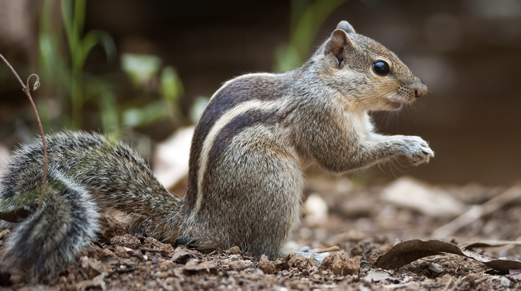 Heart touching: Squirrel fights cobra to save babies, wins hearts
