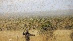 Locusts unleash new lifeline for 'bandwallahs'