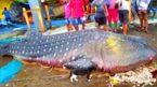 Mumbai fishermen net a whale shark
