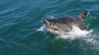 Man killed in W.Australia shark attack